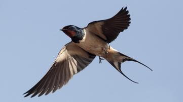My life as a barn swallow